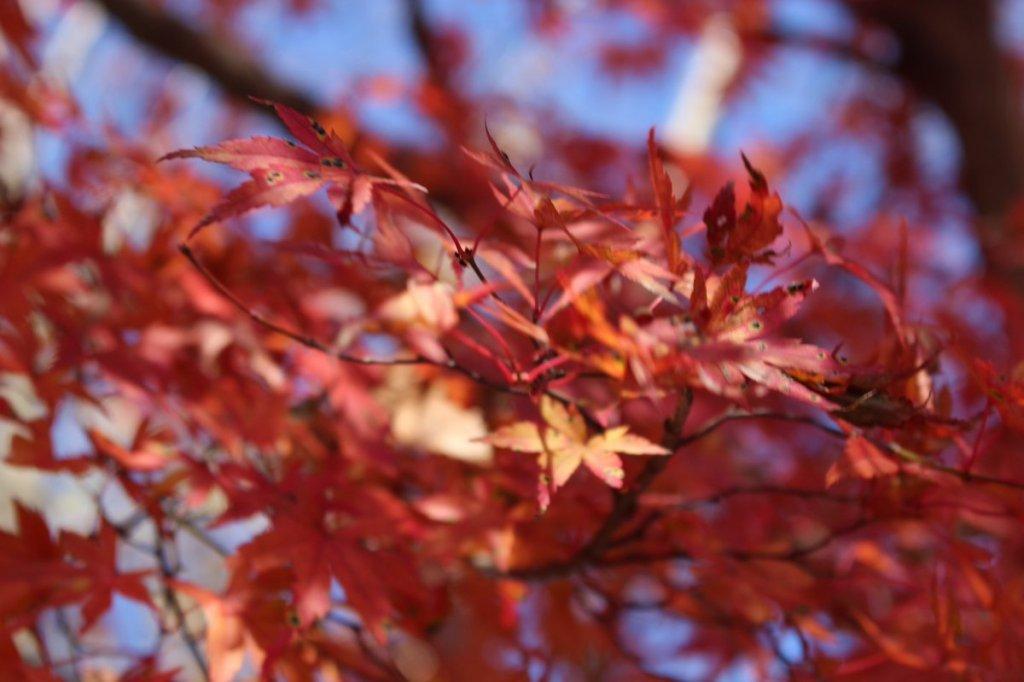 紅葉をさがしに高尾山(2016/12/2)