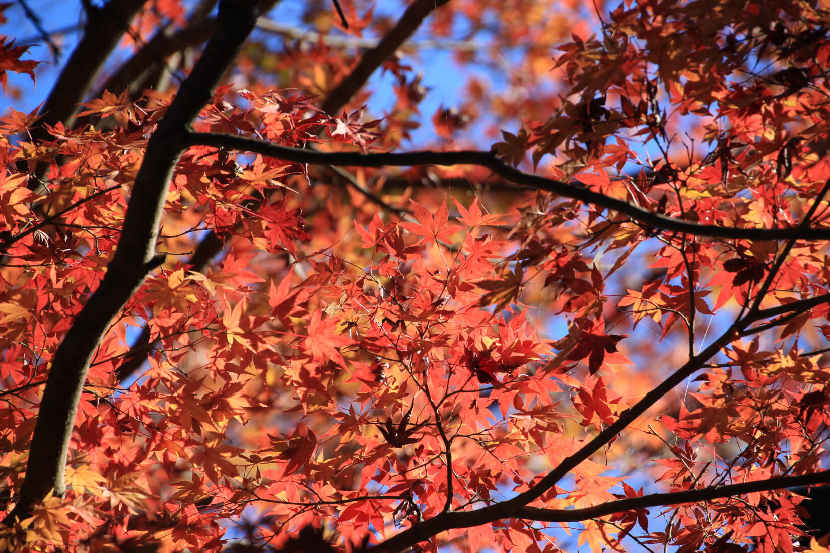 紅葉最終の高尾山へ