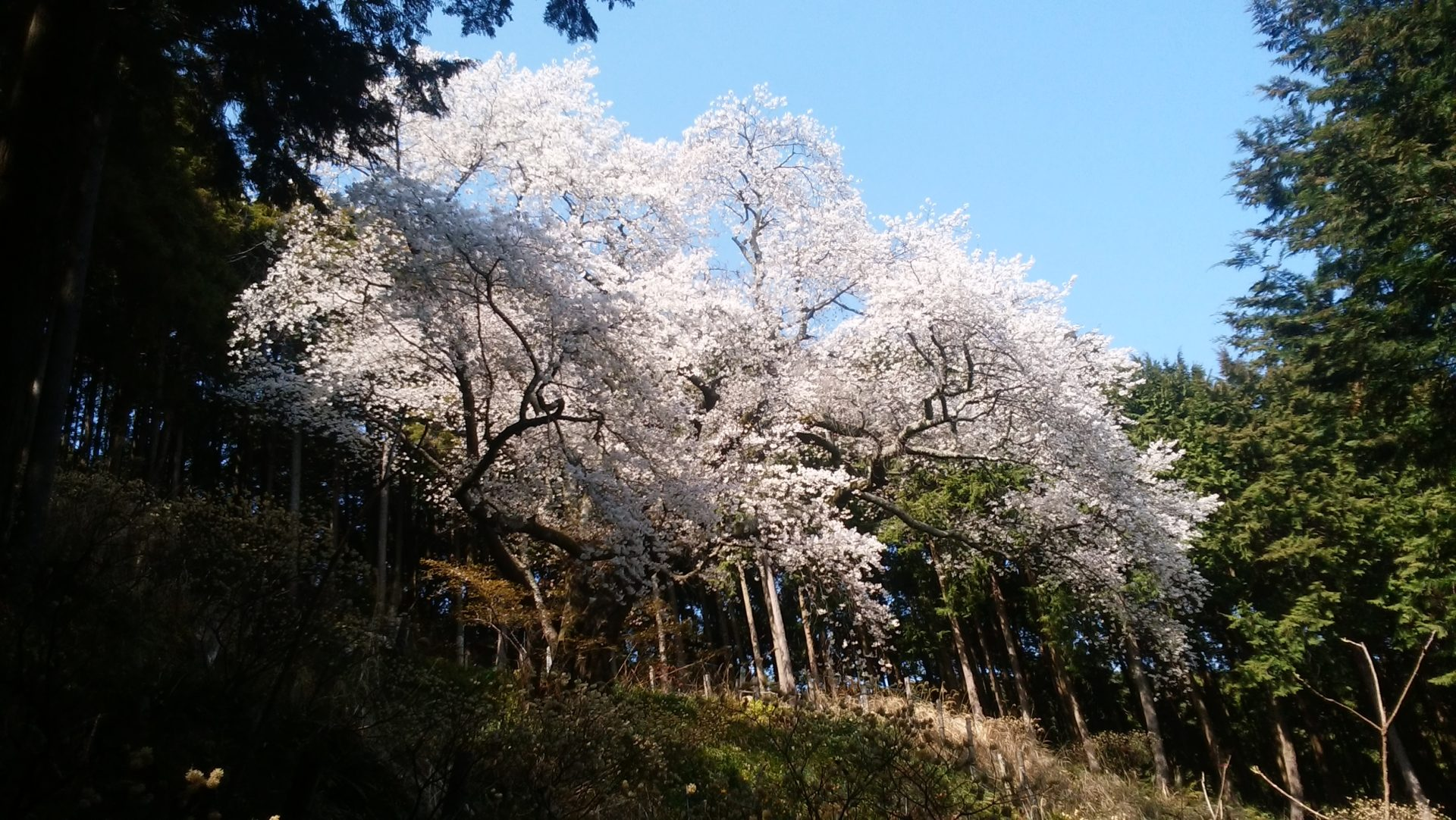 【路線バス】【お花見】【丹沢】大山桜